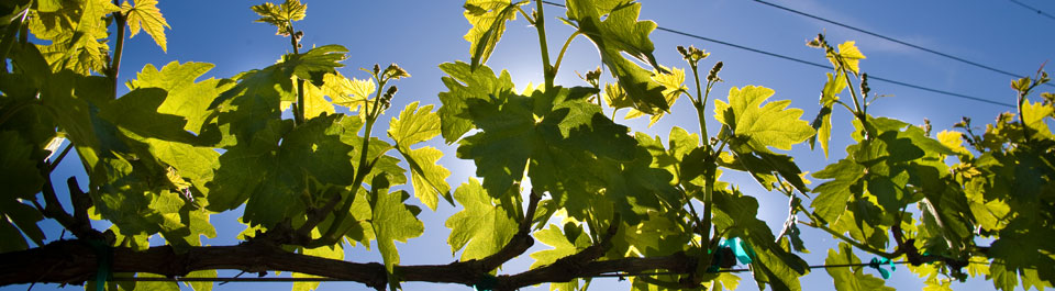 Grape vine in Mill Creek vineyards